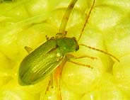 Northern Corn Rootworm Adult