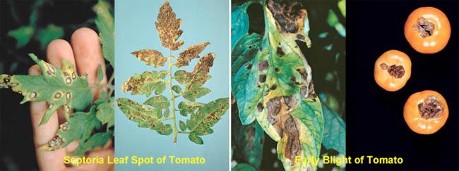 JT IRREGULARS: Septoria leaf blight