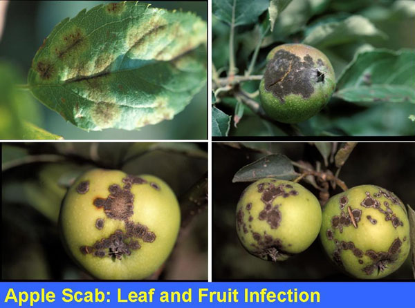 Applpe scab is the primary disease of concern at SLO Creek Farms