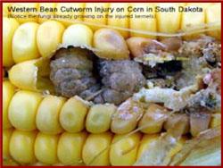 western bean cut worm