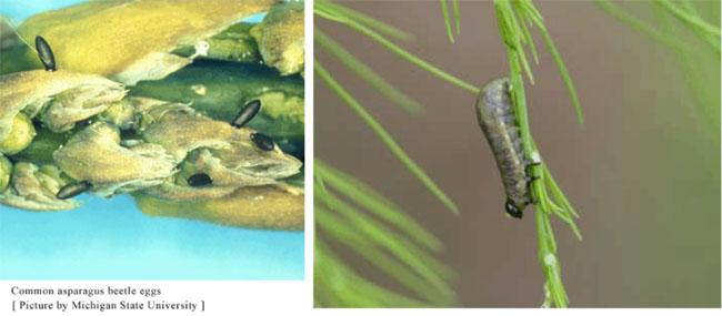 Asparagus Beetle Control: IPM : Illinois Fruit And Vegetable News : Volume 11 : Issue 9
