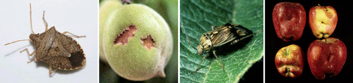 University catfacing damage to peach caused by stink bug feeding